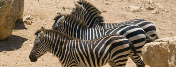 Drei Zebras in Steppenlandschaft